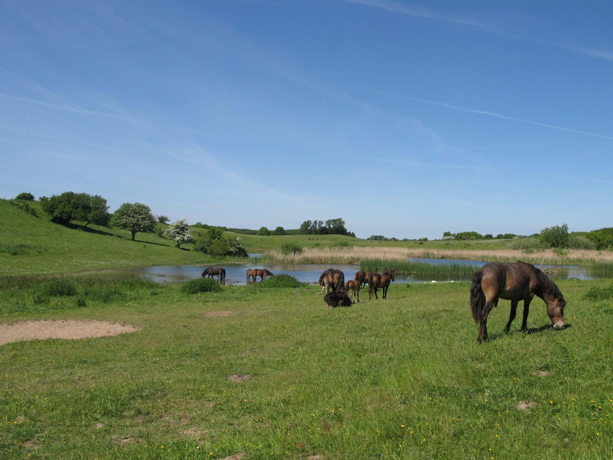 pressetur de vilde heste