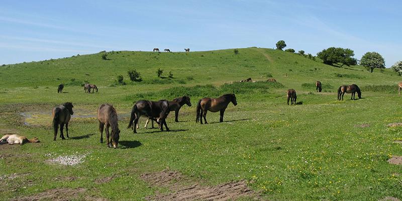 Turist - og Erhvervsforeningen Langland Vilde heste