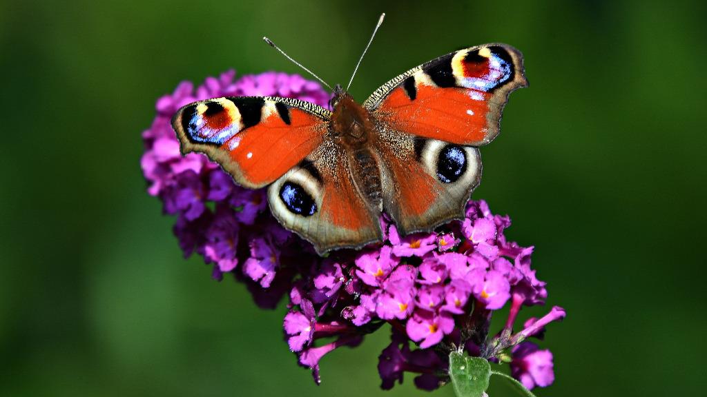 sommerfuglepark_lejbolle_butterfly_mabelamber_pixabay