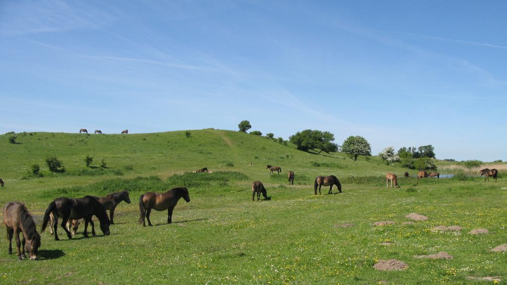 vilde_heste